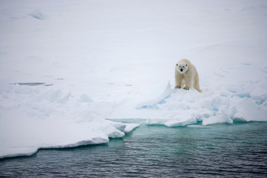 Sirdar blogi WWF jääkarhu